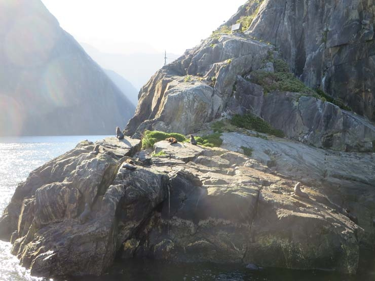 Wild seals at Milford Sound