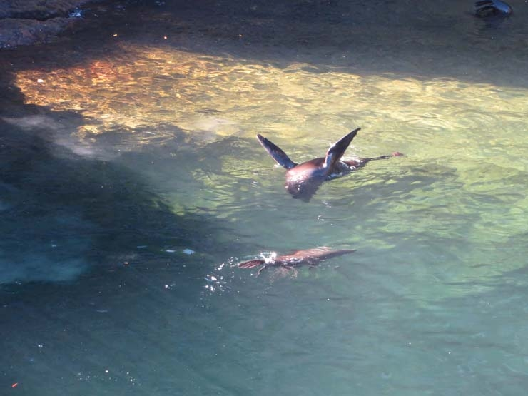 Wild seal swimming at Milford Sound
